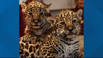 Memphis Zoo welcomes adorable jaguar cubs