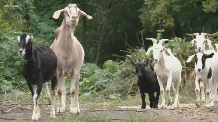 Kudzu got your goat? | Herd of goats headed to Knoxville College to clear kudzu ahead of homecoming