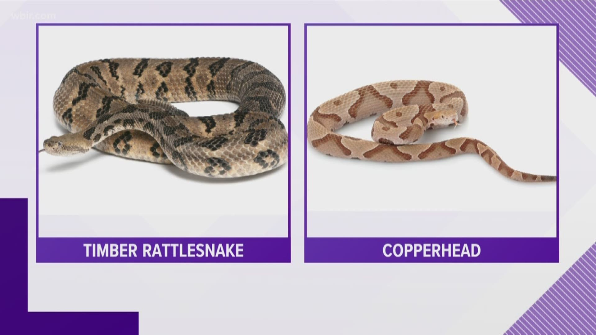 How To Tell If A Snake Is Venomous Wbir Com