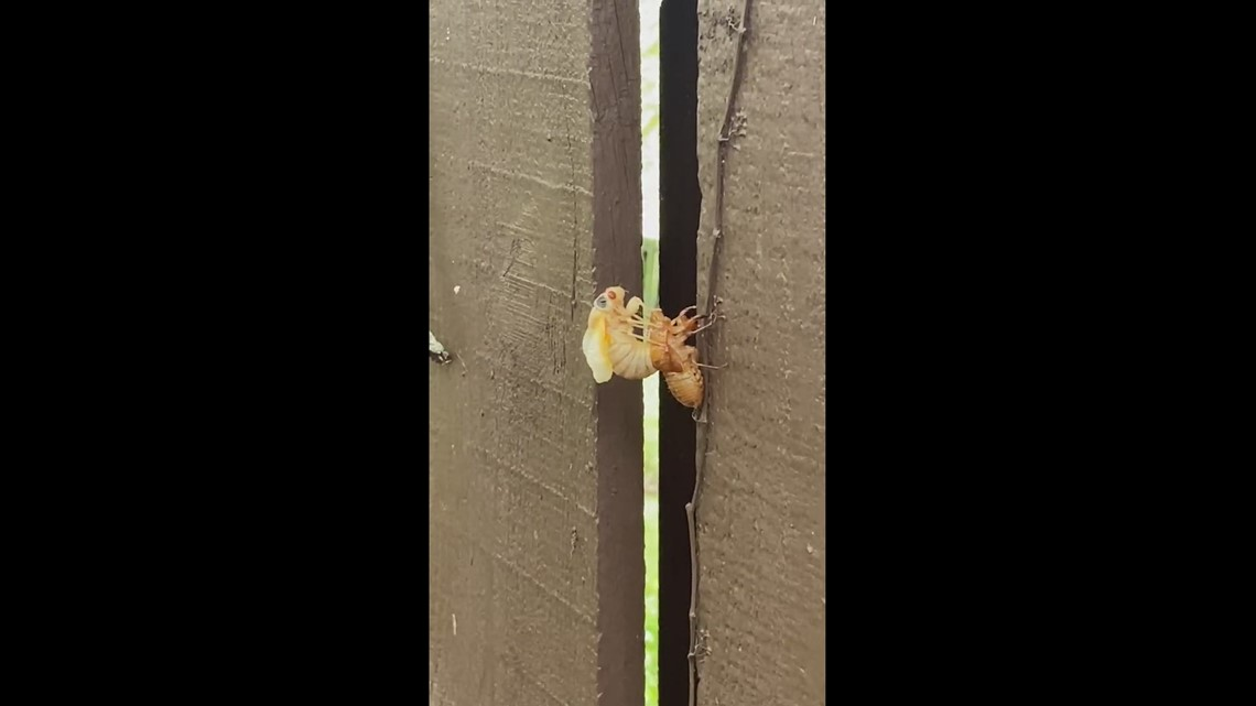 They're here! Watch as a 17-year cicada becomes an adult and emerges from its shell in Knoxville
