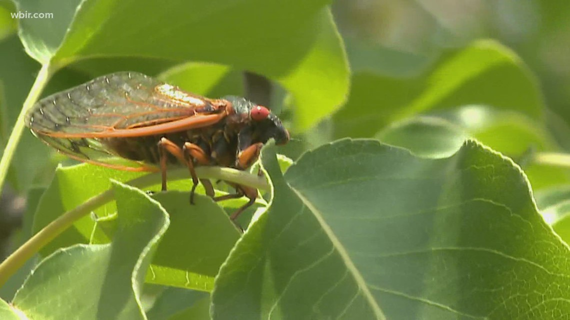 How to know if your neighborhood will be invaded by Brood X cicadas