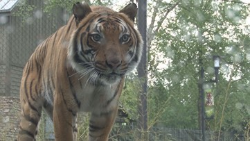 He's healthy! Zoo Knoxville Malaysian Tiger Bashir gets a checkup