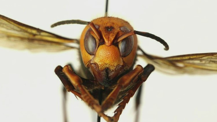 No, it's not likely you are seeing the Asian giant hornet in East Tennessee, but be aware