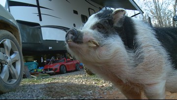 Charles the pig inspires while his family rebuilds after 2016 Gatlinburg wildfires