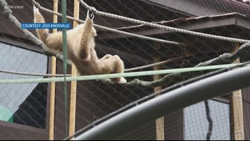 Zoo Knoxville welcomes new white-handed gibbon
