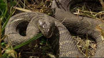 Hiss! Here are the four venomous snakes of Tennessee | wbir com