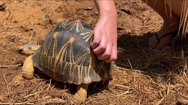 Tortoises want pets too   Zoo Knoxville announces new Tortoise Trail exhibit