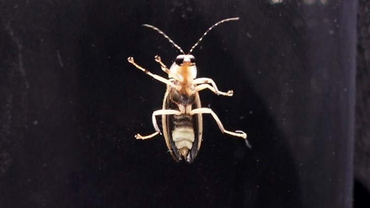 The Photuris frontalis lightning bug, also known as the Snappy Sync, is a synchronous species of firefly.