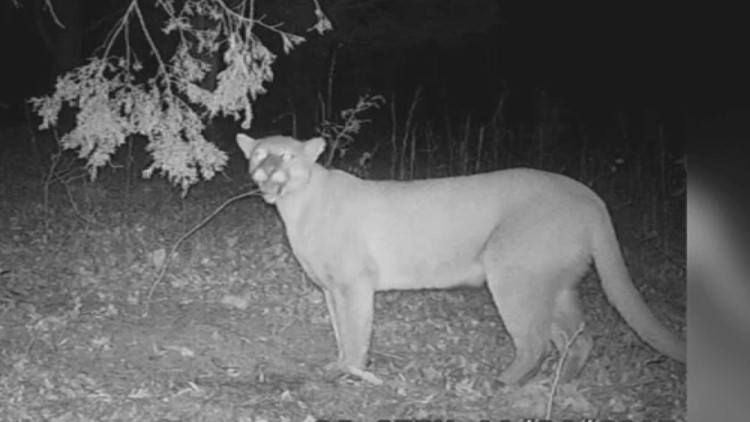 Yes, TWRA says cougars and alligators are migrating to the state, but none so far in East Tennessee
