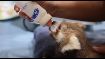 Red panda cub's arrival at Zoo Knoxville 'kind of like a homecoming'