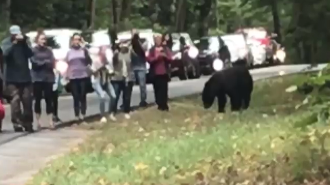 Don't do this: Tourists crowd right next to a bear in the Smokies   wbir.com