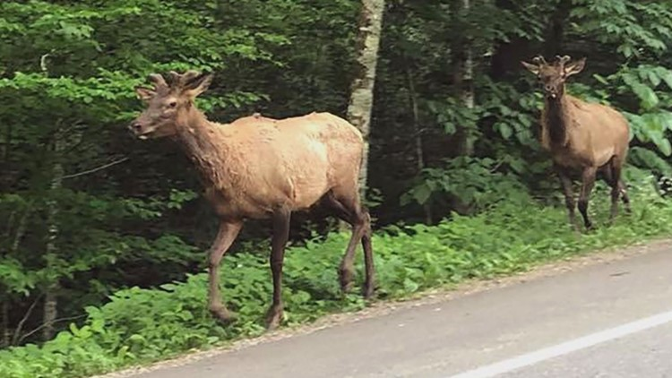 Elk in Tennessee Newfound Gap 4