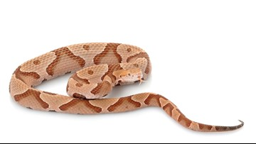 Copperhead or corn snake? How to tell if that snake you're staring down is venomous