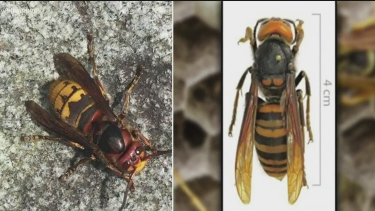 What's the difference between a European hornet and a murder hornet?