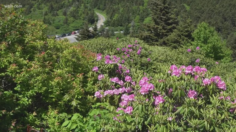 Rhododendron on Roan Mountain