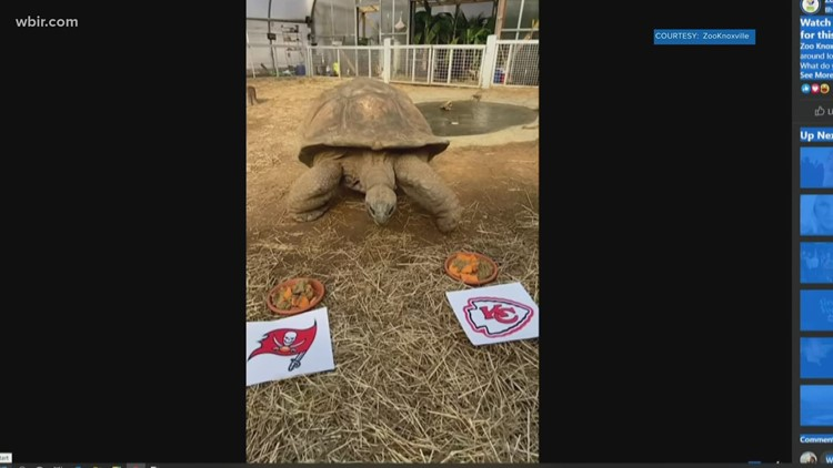 Zoo Knoville's giant tortoise gives Super Bowl prediction