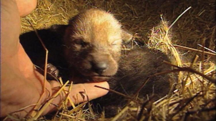 1993 Red Wolf Puppy