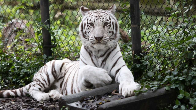 zoo knoxville saddened by death of kaliyani the white tiger