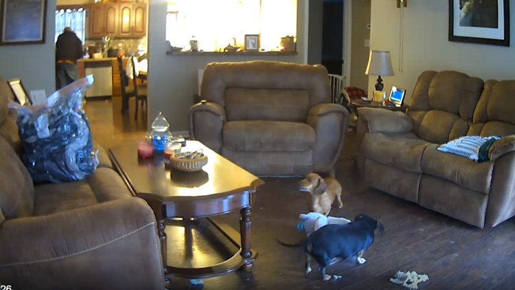 Watch: Two mischievous dogs swipe teddy bear in Valentine's Day 'heist'