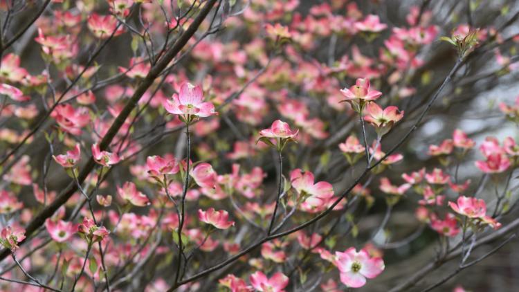 Dogwood Arts starts tree sales for Bazillion Blooms