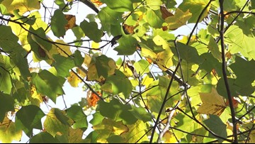 2019 Foliage Forecast: drought delays fall colors