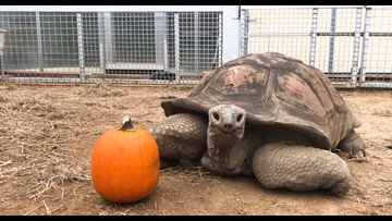 Al the giant tortoise carves a pumpkin at Zoo Knoxville, sort of