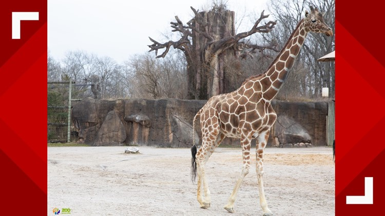 Patches the giraffe at Zoo Knoxville