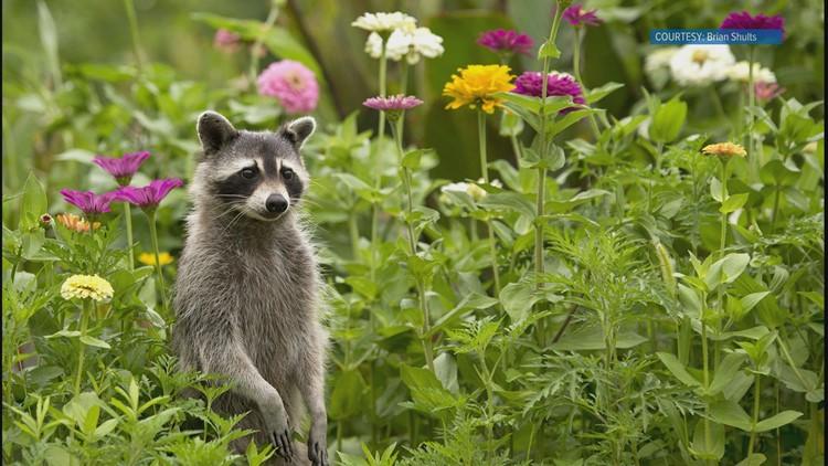 Raccoon by Brian Shults