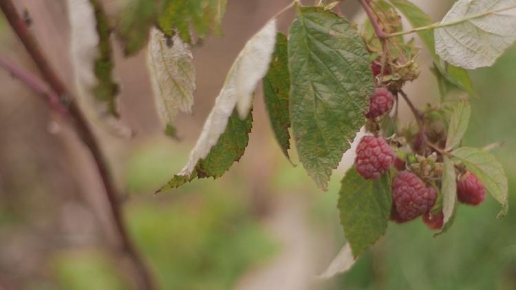 Rasberries_1541365677713.jpg