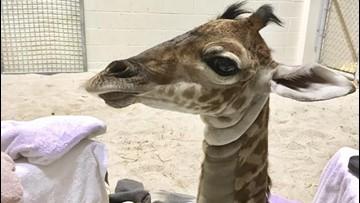 Virginia Zoo mourns loss of three-week-old giraffe calf Baby G