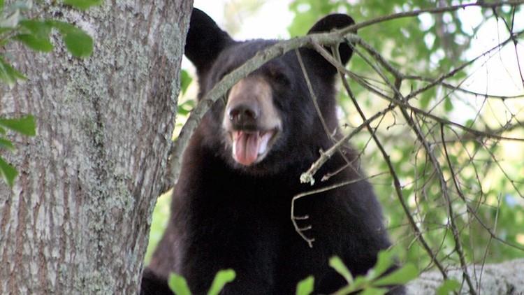 Rangers kill black bear in  Smokies after it attacks 16-year-old girl in hammock