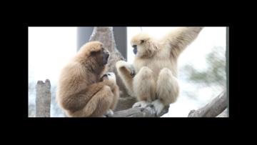 Gibbon Cam - Watch Live