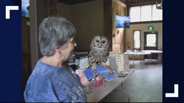 'Who cooks for you?' Barred owl steals the show at Camp Montvale