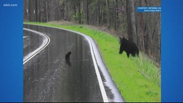 Bear cub learns to cross the road in the Smokies