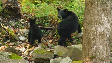 No rain, no problem for bears' fall food in Smokies