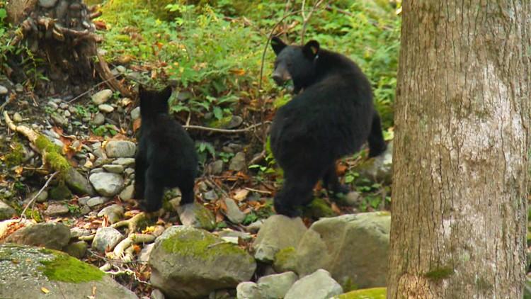 Cub and Mother Black Bear Rainbow Falls Great Smoky Mountains Smokies GSMNP