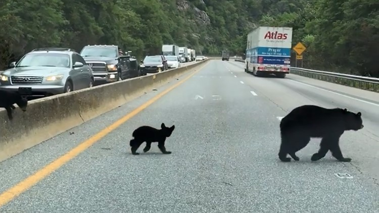 Black Bears Cubs cross Interstate 40 pigeon River Gorge Mountains