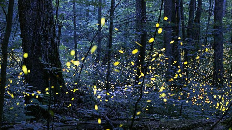 Lottery for Smokies' synchronous fireflies event at Elkmont starts Friday