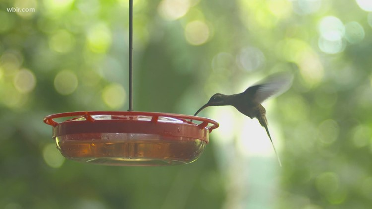 Hummingbirds coming to East Tennessee