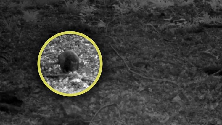 Armadillos Wildlife Game Camera Great Smoky Mountains Smokies Newfound Gap
