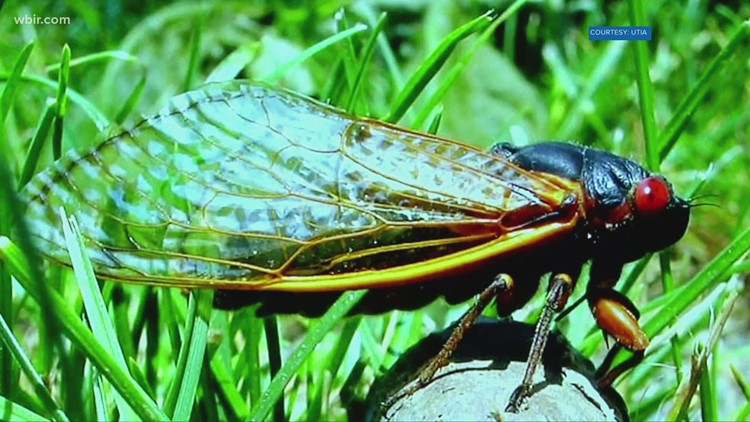 How to eat cicadas: Just in time for the swarm, tips on cooking the bug-eyed bugs