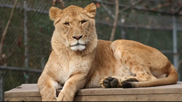 Zoo Knoxville mourns Elsa the lion