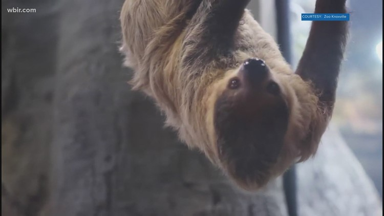 Zoo Knoxville's Joe the sloth, adjusts to new home in ARC
