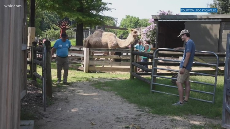 Sweet, sweet retirement | Zoo Knoxville's camel retires to local farm