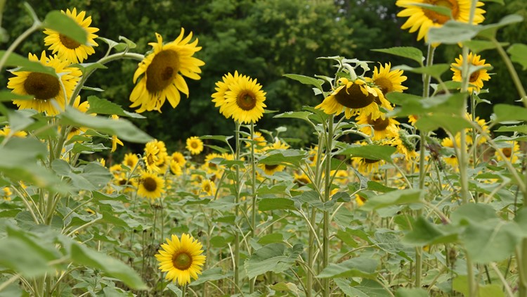 Instagram-worthy sunflowers are blooming in South Knoxville! Here's what you need to know