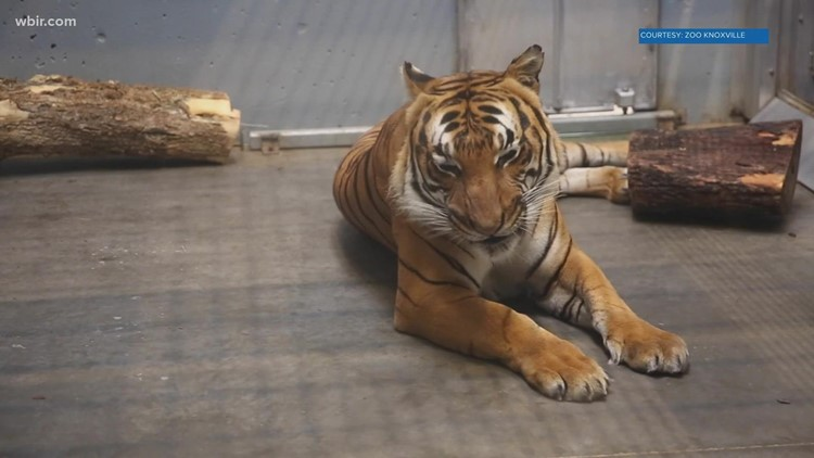 Zoo Knoxville tigers get COVID-19 vaccines