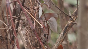 Sevier County push to battle kudzu infesting areas hit by wildfires