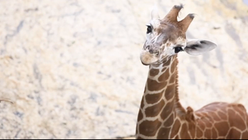 Zoo Knoxville's baby giraffe is already 7 1/2 feet tall & 300 pounds, at only 3 months old!