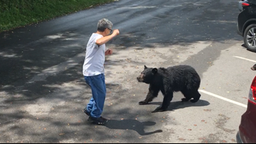 WATCH: A Cades Cove visitor confronted a momma bear and her cubs, so she charged