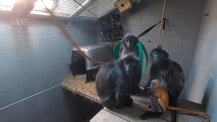 It takes a village | Baby langur introduced to rest of family at Zoo Knoxville